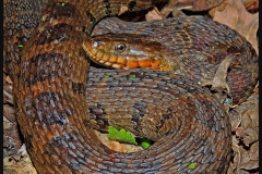 Common Watersnake