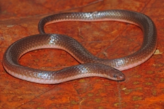 Eastern Wormsnake