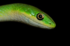 Rough Greensnake